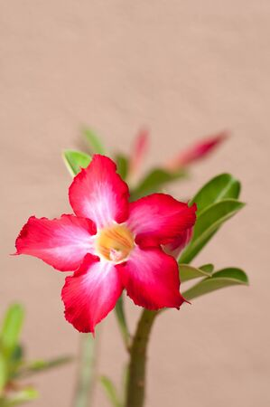 Desert rose flower in the sun photo