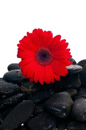 Red gerbera flower on black zen stone over white background photo