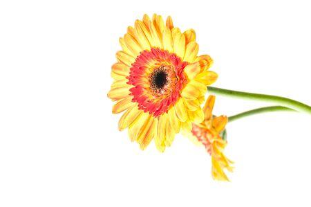gebera: Two orange yellow gerbera flower over white
