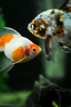 Pearl scale oranda with a japanese carp at the background