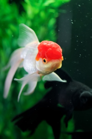 Red cap oranda and a pearl scale at background in a fish tank