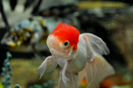 Red cap oranda and koi at the background in a fish tank photo