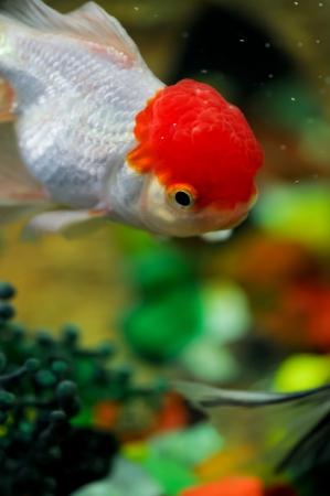 ranchu: Red cap oranda diving down in a fish tank Stock Photo