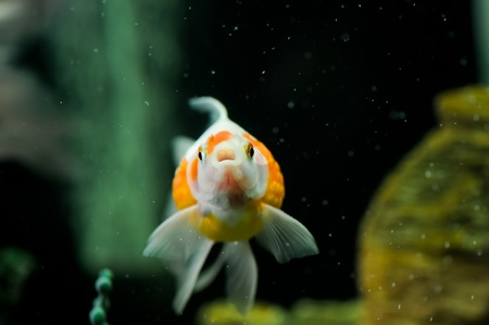 Pearl scale oranda in a fish tank Stock Photo - 14067980