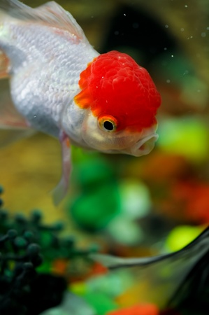 Red cap oranda diving down with mouth open in a fish tank