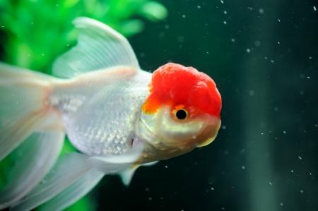 Red cap oranda fish close up