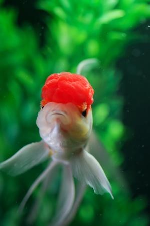 Red cap oranda swimming straight in a fish tank photo