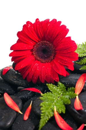 Red gerbera, petals and fern on black zen stone extreme close up photo