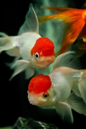 oranda: Tappo rosso oranda da vicino in un acquario