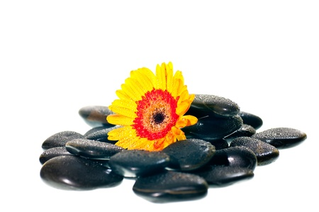Yellow gerbera flower on black zen stone over white background photo