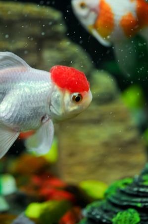 Red cap oranda and a pearl scale at background in a fish tank photo
