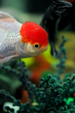 Red cap oranda swimming in a fish tank photo