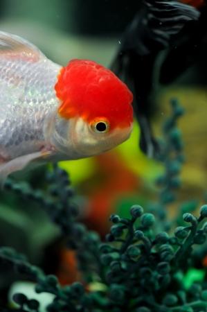 ranchu: Red cap oranda swimming in a fish tank