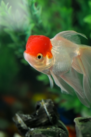 Red cap oranda swimming in a fish tank Stock Photo - 14511959