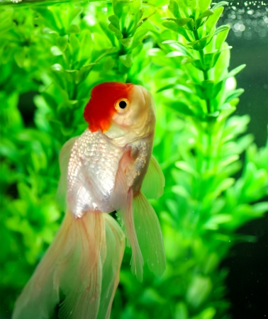 Red cap oranda with pond plants background in a fish tank Stock Photo