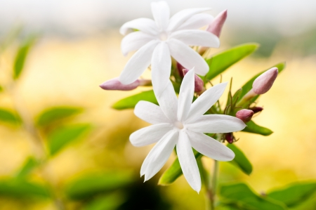 Jasmine  flower with a background yellow bushes Stock Photo