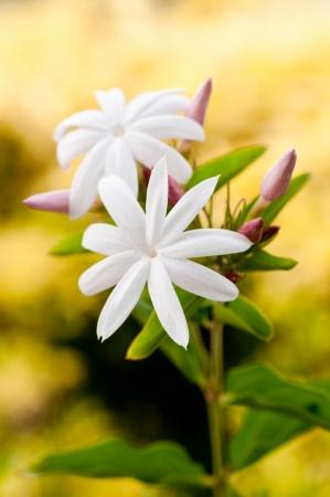 Jasmine Blume mit Hintergrund gelbe B�sche Lizenzfreie Bilder