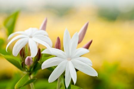 estrella de la vida: Flor de jazm?con un fondo amarillo arbustos Foto de archivo