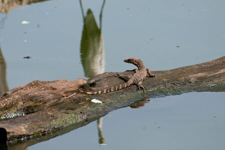 River monitor lizard on a tree trunk in the lake photo