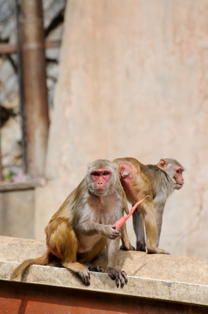 Monkey eating a carrot in India photo