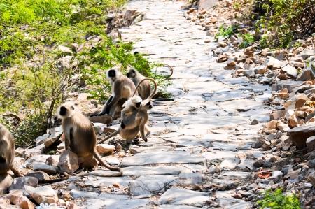 hanuman langur: Indian langurs at the hillside pathway near the Hanuman Temple in Jaipur Stock Photo