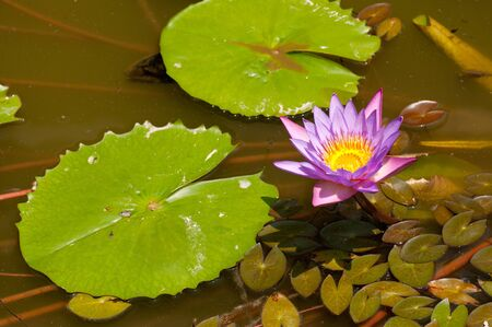 Lotus flower in the pond in the sunshine Stock Photo - 15656983