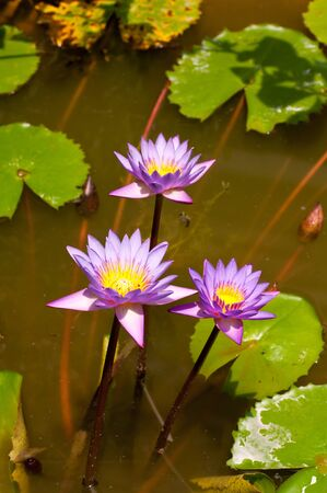 Three lotus flowers in a pond in the sun Stock Photo - 15656980