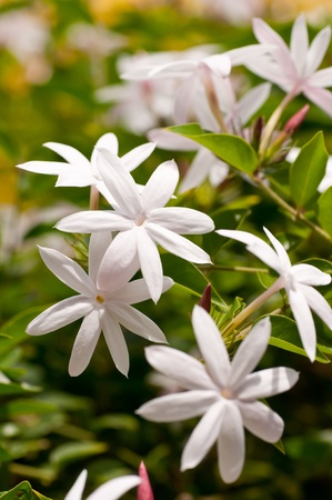 Cluster of jasmine flowers in a garden photo