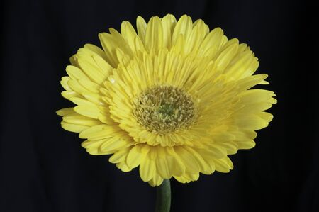 Yellow gerbera flower extreme close up over black  Stock Photo - 16481220