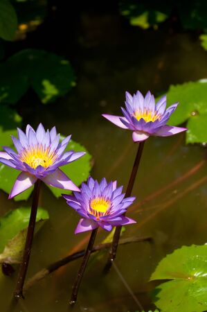 Three lotus flowers in a pond under the sun Stock Photo - 16635694