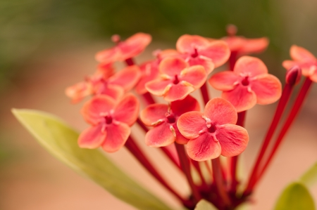 Ixora Prince of Orange flowers close up with garden background Stock Photo - 16635705