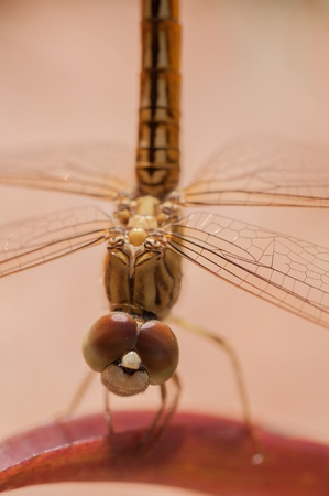 Golden dragonfly on a leaf close up photo