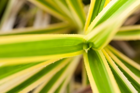 bird s eye: Pandanus bird s eye view on variegated spiny leaves close up
