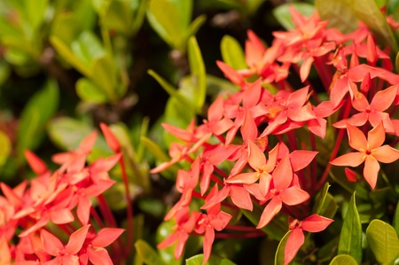 Red Ixora flowers close up on a sunny day Stock Photo - 16796095