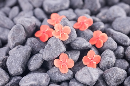 Ixora Prince of Orange flowers on black zen stones  photo