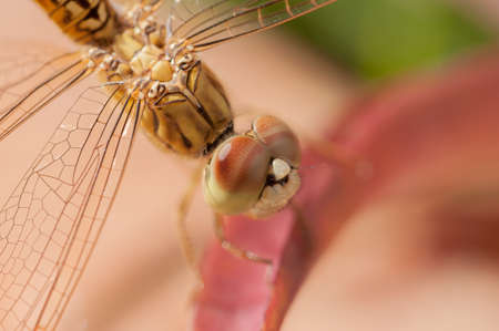 Golden dragonfly on a red leaf close up photo