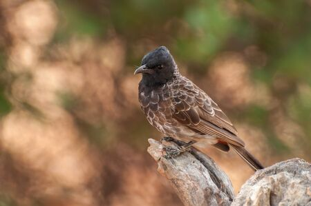 vented: Red vented bulbul close up perched on a tree trunk Stock Photo
