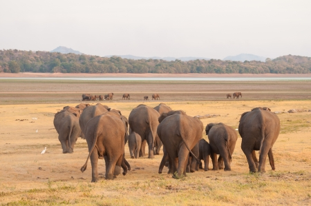 Asian elephants and white egrets moving towards water source Stock Photo