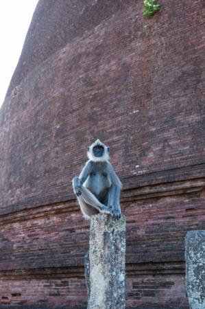 hanuman langur: Hanuman or Grey Langur sitting on a pillar in ancient city of Polonnaruwa, Sri Lanka