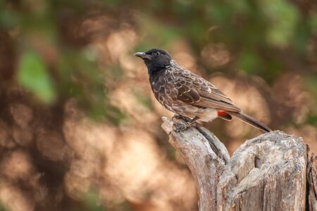 Red vented bulbul looking up  photo