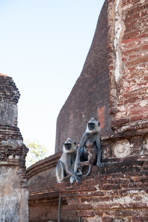 Grey Langur monkey family staring faraway in ancient city of Polonnaruwa, Sri Lanka Stock Photo - 17984198
