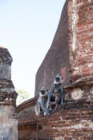 Grey Langur monkey family staring faraway in ancient city of Polonnaruwa, Sri Lanka Stock Photo - 17984198