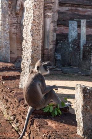 hanuman langur: Hanuman or Grey Langur sitting in ancient city of Polonnaruwa, Sri Lanka Stock Photo