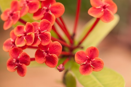 Ixora Prince of Orange flowers close up with a rock background Stock Photo - 18179274