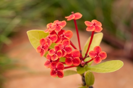 Ixora Prince of Orange flowers with a rock background photo