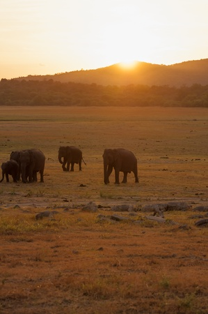 Silhouette de p�turage des �l�phants d'Asie au coucher du soleil photo