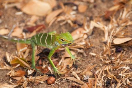 lizard in field: Forest Green Lizard o Calotes Calotes comiendo un insecto en un campo seco cerca en Sri Lanka