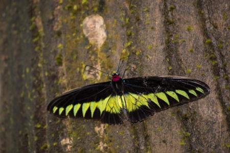 rajah: Rajah Brooke mariposa extrema de cerca de un tronco de �rbol