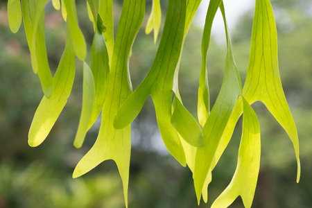 staghorn fern: Staghorn fern close up