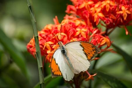 feeding through: Great Orange Tip butterfly is feeding on the Ixora flowers through its proboscis